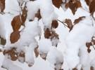 Buchenblätter im Schnee
