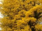 Yellow Ipe Brazil