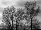 leafless stand, soft gray sky