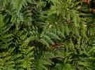 Elaine's ferns