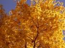 enlightened tree - yellow ipe