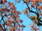 Mulungu Tree - Brazil