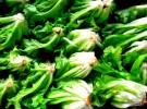 organic letuce - brazil